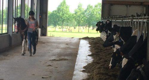 Lotte koeien